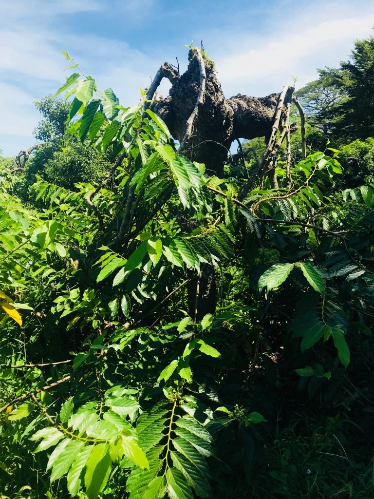 Ylang Ylang träd